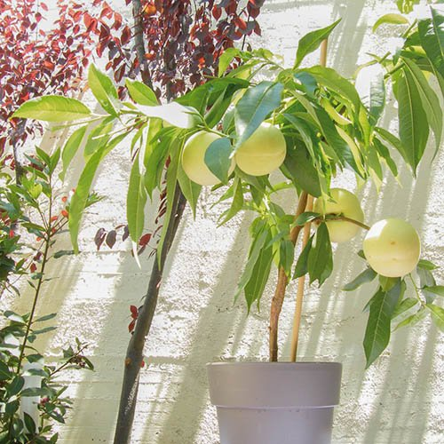 New! Hardy White Ice Peach tree