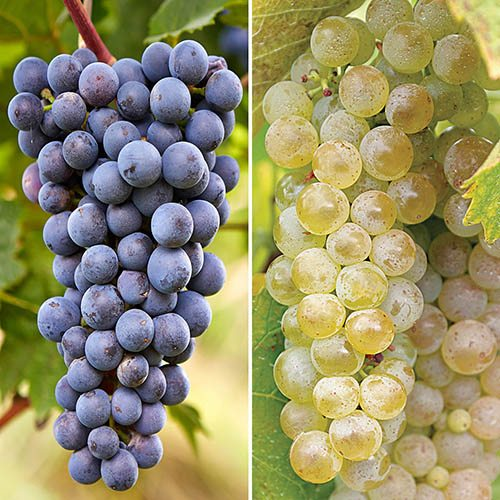 Pair 2L Grapevines - Red & White