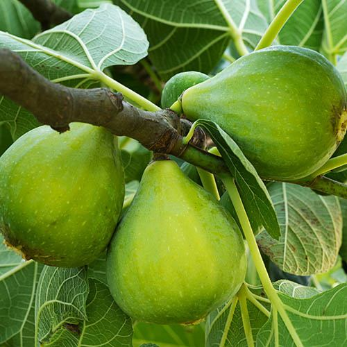 Green Fig - Ficus carica