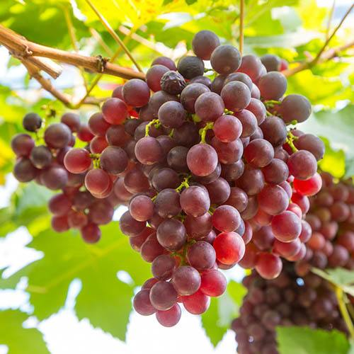 Table Grape Red 3L Potted