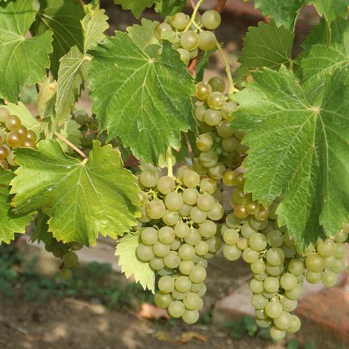 White Table Grape