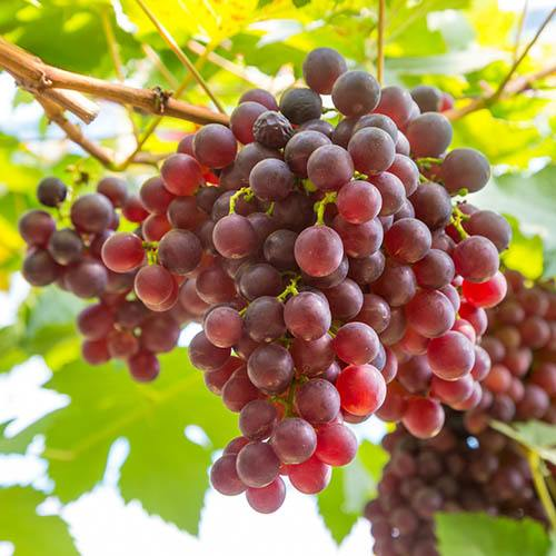 Pair Table Grapes 75-80cm Tall in 3L Pot