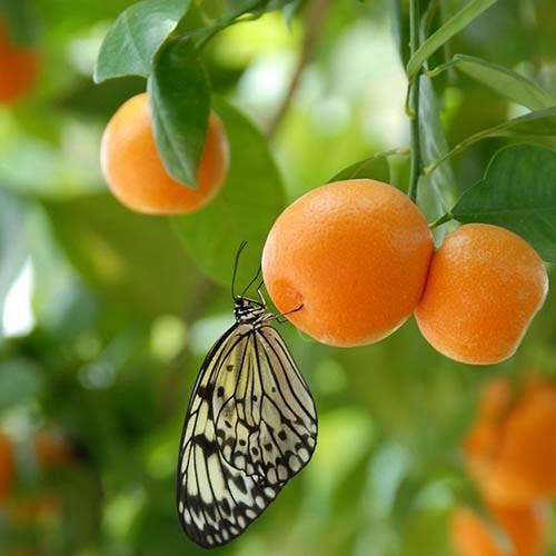 Citrus Calamondin Panama Orange Tree