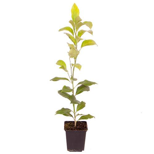 Citrus Lemon Citron Tree 9cm pot