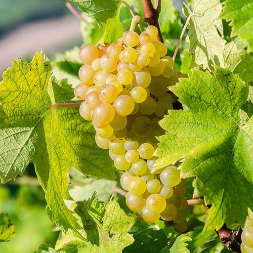 White Grape Vine Bonsai
