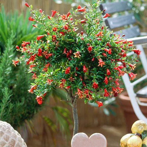 Pomegranate Standard Tree