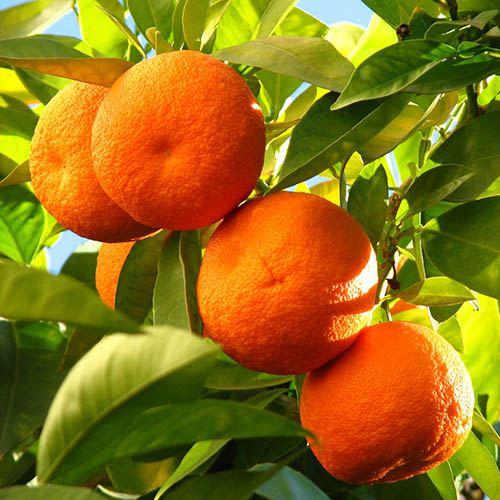 Citrus Grove Collection, Orange, Lemon and Lime