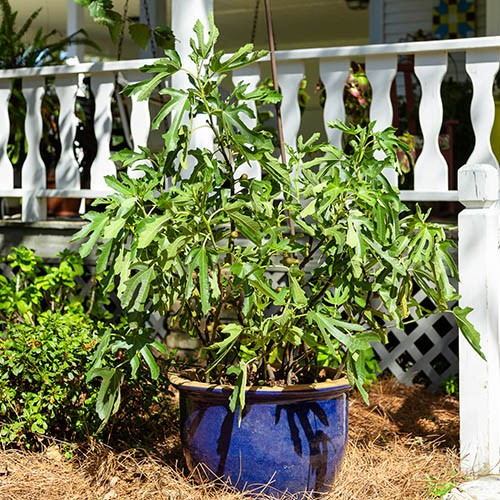 Ficus carica Little Miss Figgy 9cm