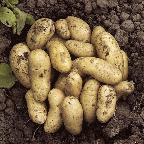 Complete Starter Patio Potato Growing Kit