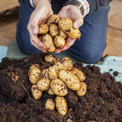 Complete 'Second Cropping' Potato Growing Kit
