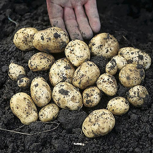 Complete Second Cropping Potato Growing Kit
