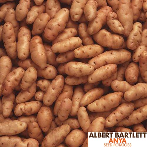 Premium Seed Potato Albert Bartlett Anya - salad