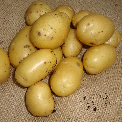 Seed Potato Albert Bartlett Vivaldi