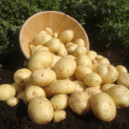 Seed Potato Cassablanca 2.5kg