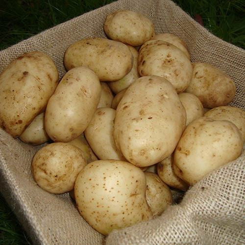 Seed Potato Maris Bard (First early) 2.5kg
