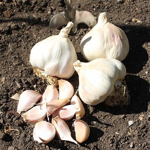 Garlic Cristo (White)