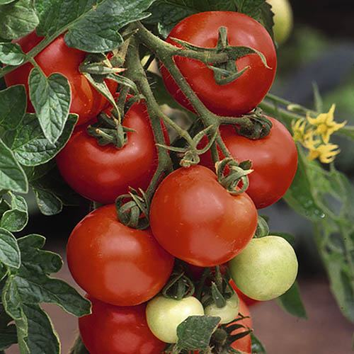 Complete Grafted Tomato Collection