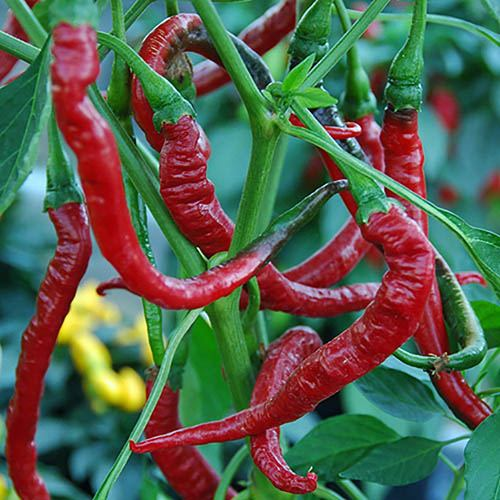 Chilli Pepper Potted Plant Collection