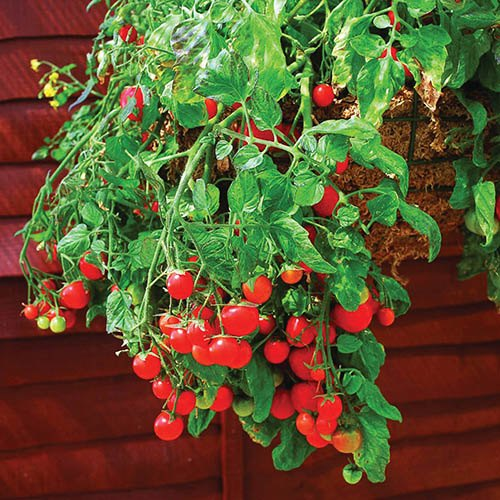 'Tumbling Tom' Tomato plants~Welcome To The YouGarden Website