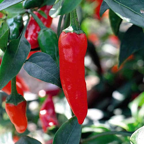 Pack of 3 Chilli Serenade plants 9cm