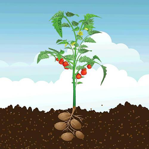 PotaTom Tomato & Potato Plant