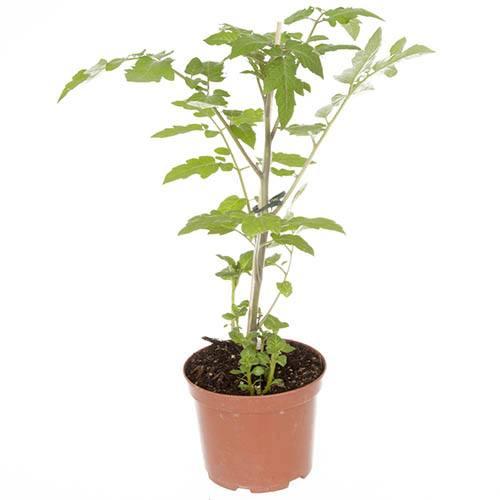 PotaTom Tomato & Potato Plant