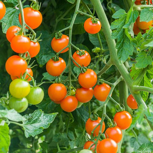 Cherry Tomato Sungold SuperSweet