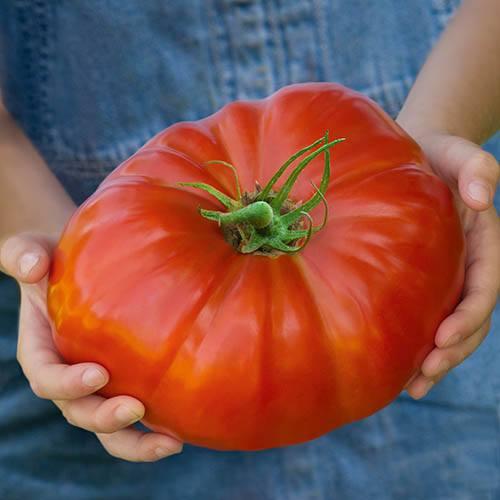 Tomato Gigantomo® F1 Hybrid