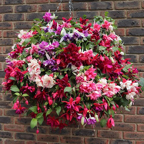 Jumbo Flowered American Double Fuchsia Collection