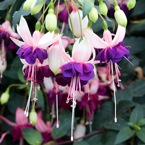 Jumbo Flowered American Fuchsia Collection