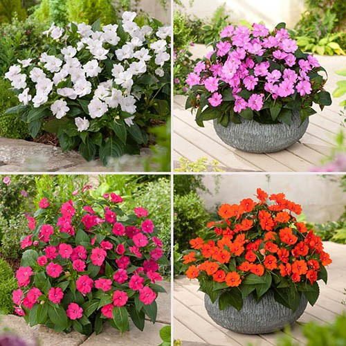Sunpatiens Super-Charged Busy Lizzies x 12 plugs