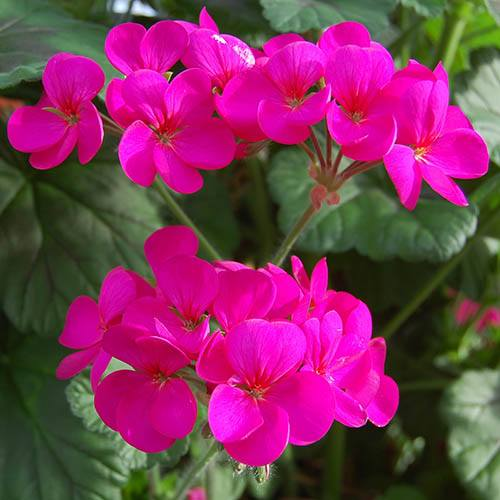 Climbing Geranium Antik Collection