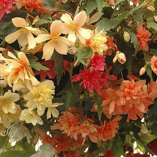 Begonia Illumination Hanging Basket/Bedding Plants - Pack of 18 Jumbo Plugs