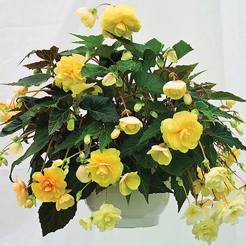 Trailing Begonia Illumination Mix