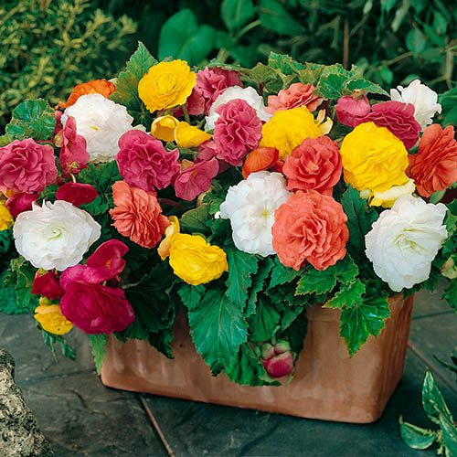 Begonia 'Non-Stop' Hanging Basket/Bedding Plants - Pack of 18 Jumbo Plugs
