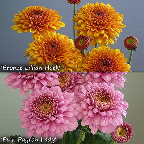 Chrysanthemum Garden Spray Collection