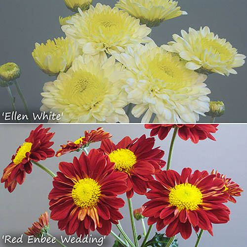 Chrysanthemum Garden Spray Collection