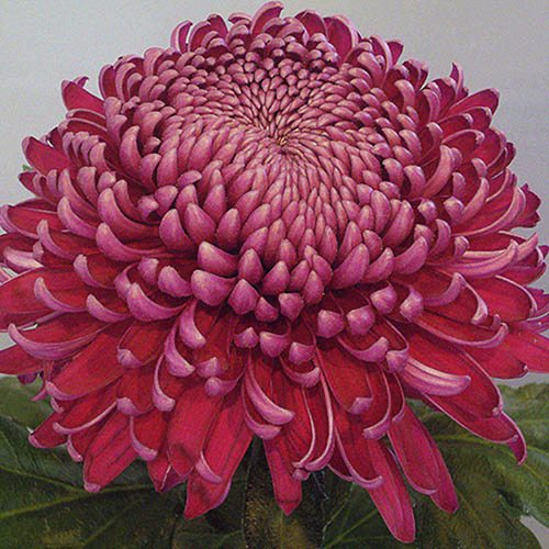 Chrysanthemum Garden Bloom Collection