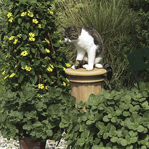cats on appletrees coleus canina scardy cat plant columnar apple trees