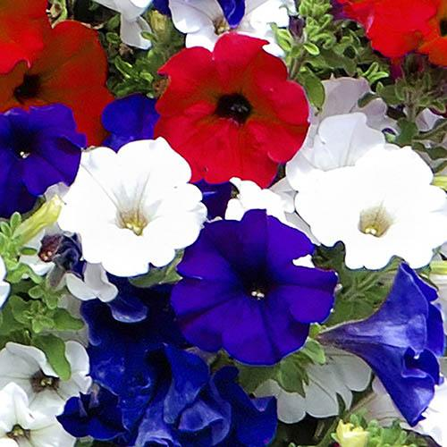 Petunia Surfinia Patriotic Collection