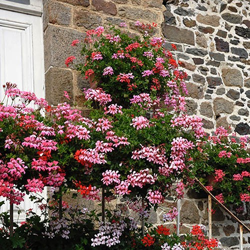 Trailing Balcony Geranium Decora Collection