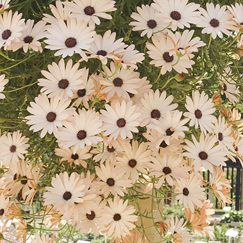 Osteospermum Trailing Sunbrella Collection