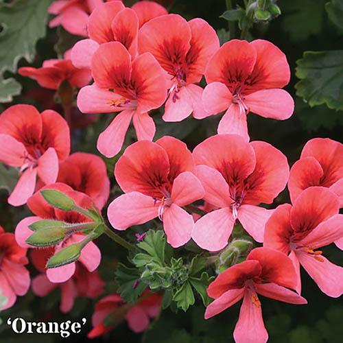Geranium Angel Eyes mixed collection