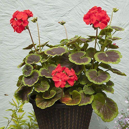 Geranium Black Velvet Scarlet