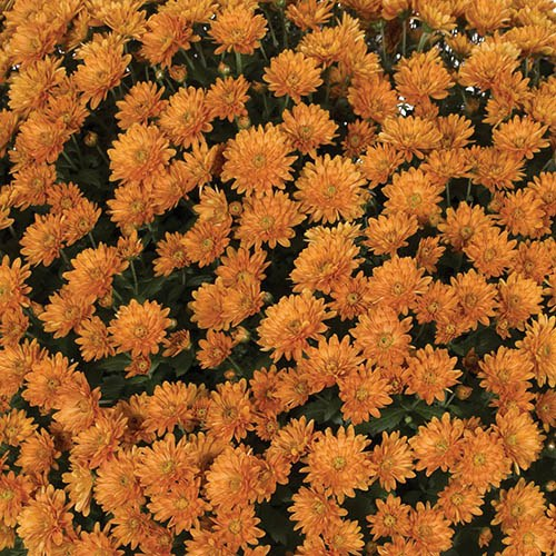 Chrysanthemum Garden Mums Collection