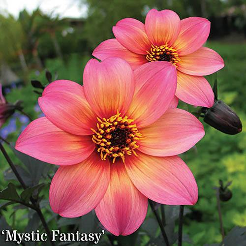 Dahlia Mystic Collection