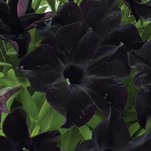 Petunia Back to Black