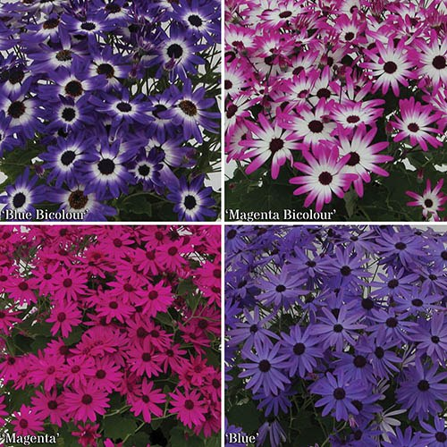 Senetti early Colour plants - pack of 12 plug plants
