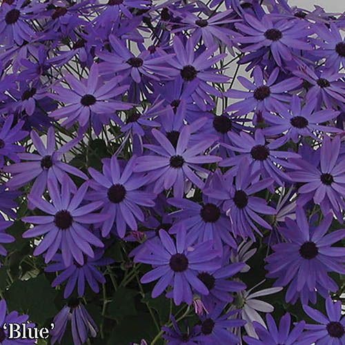 Senetti Early Colour Collection