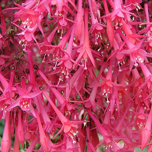 Premium Fuchsia Eruption